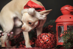 Chihuahua in christmas hat Royalty Free Stock Photo