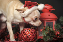 Chihuahua in christmas hat Royalty Free Stock Images