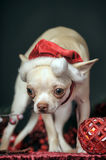 Chihuahua in christmas hat Royalty Free Stock Photos