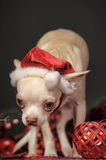 Chihuahua in christmas hat Stock Images