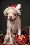 Chihuahua in christmas hat Stock Image
