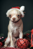 Chihuahua in christmas hat Stock Photos