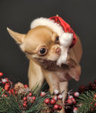 Chihuahua in christmas hat Royalty Free Stock Image
