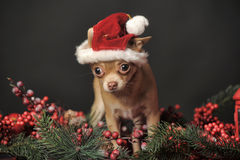 Chihuahua in christmas hat Stock Photography
