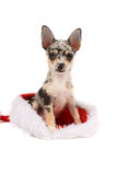 Chihuahua christmas present Royalty Free Stock Photos