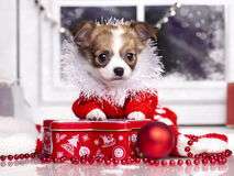Chihuahua christmas puppy royalty free stock photography