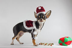 Chihuahua and christmas time. Stock Photography