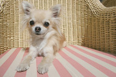 Chihuahua. City toy dog's lifestyle, longhair chihuahua relaxing on a wicker chair with pillow on a sunny day on a terrace of a restaurant Stock Photos