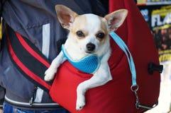 Chihuahua clara! fotografia de stock royalty free
