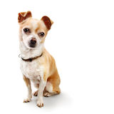 Chihuahua In Classic Pose on White. Small golden brown chihuahua poses like old RCA Victor dog Stock Photo