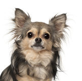 Chihuahua close-up Royalty Free Stock Images