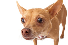 Chihuahua Close-Up Royalty Free Stock Image