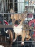 Chihuahua Stock Photography