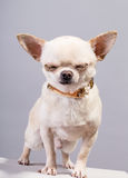 Chihuahua with closed eyes Stock Image