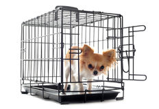 Chihuahua in kennel Stock Photos