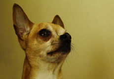 Chihuahua closeup Stock Images