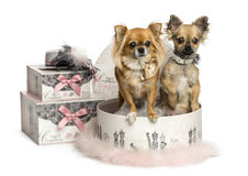 Chihuahua in a clothes box, isolated Royalty Free Stock Images