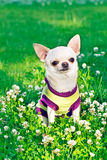 Chihuahua in clothes Stock Photo