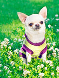 Chihuahua in clothes Royalty Free Stock Photography