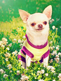 Chihuahua in clothes Stock Photos