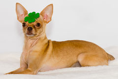 Chihuahua with clover on head. Royalty Free Stock Photography