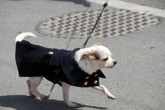 Chihuahua in a coat Royalty Free Stock Photography