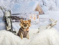 Chihuahua in coat sitting in winter scene. Chihuahua in coat sitting, winter scene Royalty Free Stock Photos