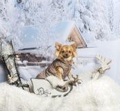 Chihuahua in coat sitting in winter scene. Chihuahua in coat sitting, winter scene Stock Photo