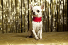 Chihuahua collar. Chihuahua clothes in red collar Royalty Free Stock Image