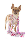 Chihuahua and collars Royalty Free Stock Photography