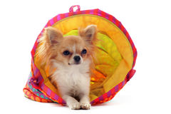 Chihuahua in a colorful bed Royalty Free Stock Photography