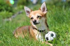 Chihuahua com bola Fotos de Stock