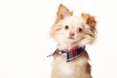 Chihuahua com colar Imagem de Stock Royalty Free