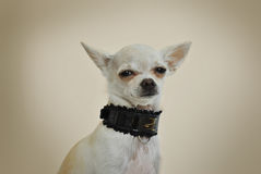 Chihuahua com colar preto Fotos de Stock Royalty Free