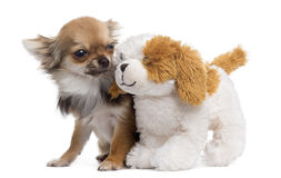 Chihuahua com o urso de peluche, isolado Imagens de Stock Royalty Free