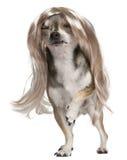 Chihuahua com a peruca longa do cabelo, 3 anos velha Imagens de Stock Royalty Free