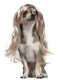 Chihuahua com a peruca longa do cabelo, 3 anos velha Fotografia de Stock Royalty Free