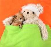 Chihuahua com urso Fotografia de Stock Royalty Free