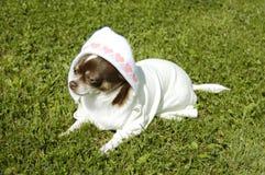 Chihuahua como recém-nascida fotografia de stock