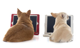 Chihuahua and computer. In front of white background stock photos