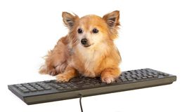 Chihuahua with computer keyboard. Chihuahua with black computer keyboard on a white background Stock Photography