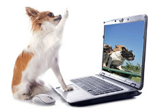 Chihuahua and computer. Portrait of a cute purebred chihuahua and computer in front of white background stock images