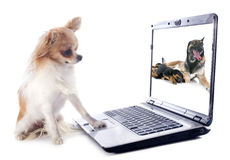 Chihuahua and computer. Portrait of a cute purebred chihuahua and computer in front of white background Royalty Free Stock Photos