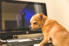Chihuahua on a Computer. Chihuahua sitting at a computer and looking suspicious royalty free stock image