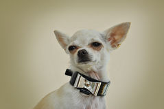 Chihuahua con el arco de plata elegante Imagen de archivo libre de regalías
