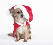 Chihuahua con el sombrero grande de santa Fotos de archivo libres de regalías