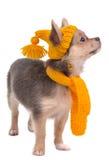 Chihuahua con el sombrero y la bufanda divertidos amarillos Foto de archivo libre de regalías