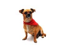 Chihuahua con il Bandana fotografia stock