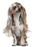 Chihuahua con la parrucca lunga dei capelli, 3 anni Fotografia Stock Libera da Diritti