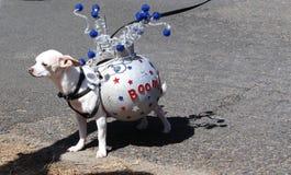 Chihuahua con la quarta delle decorazioni di luglio Fotografia Stock Libera da Diritti